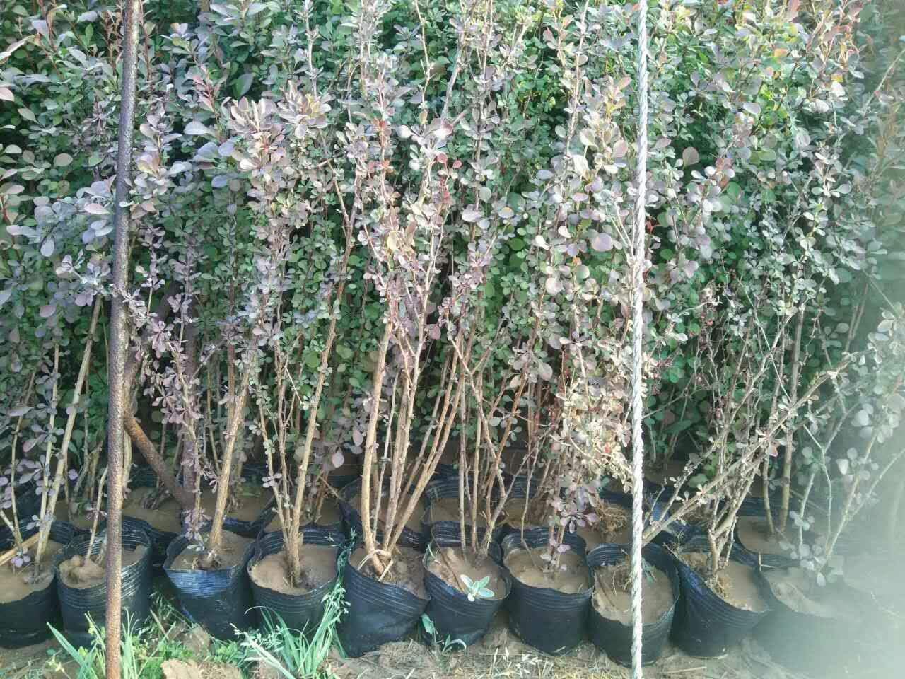 红叶小檗1
