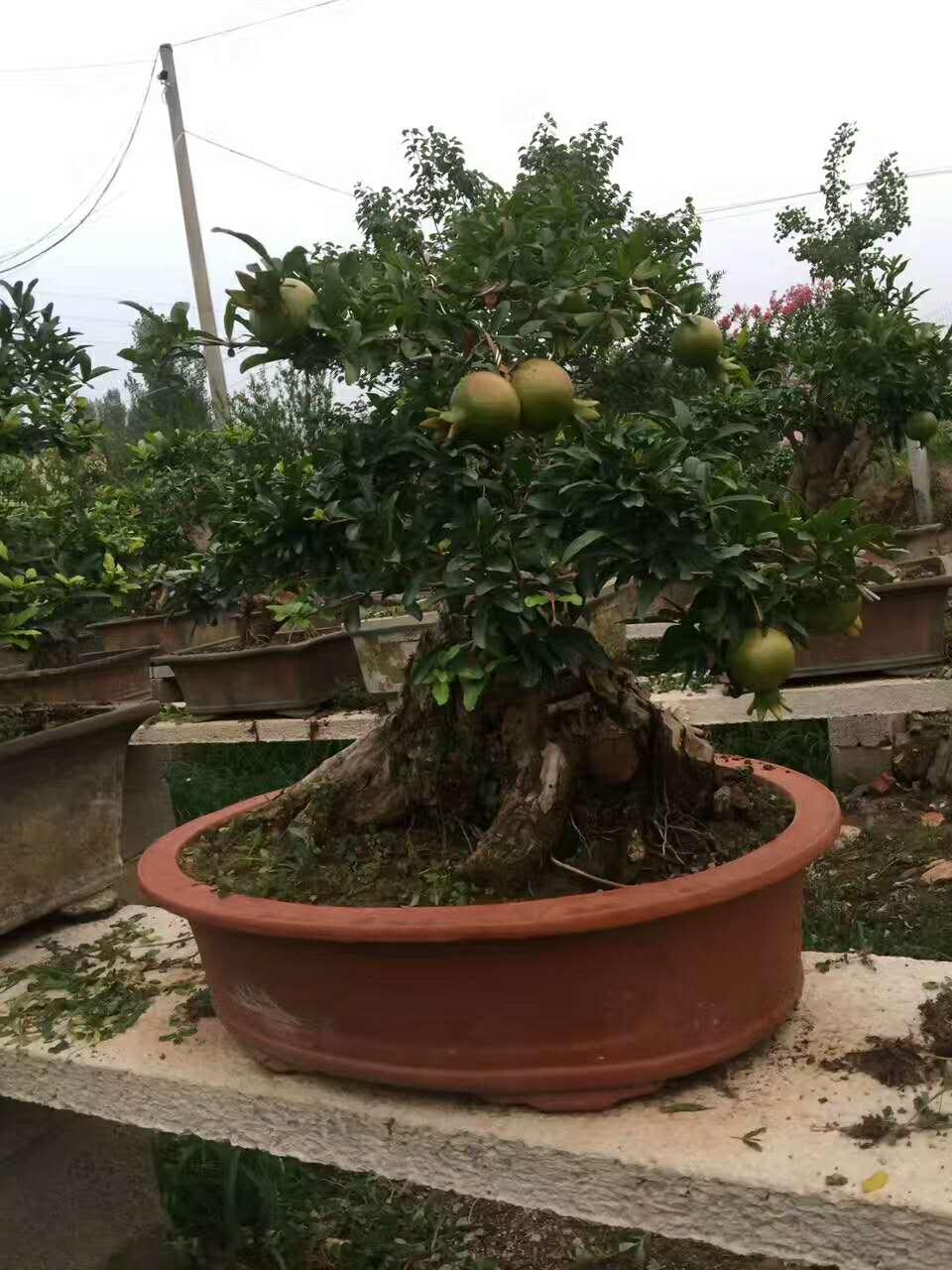 石榴树 (1)