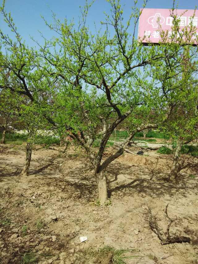 石榴树 (4)
